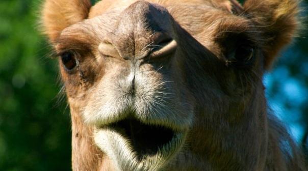 Awesome-camel